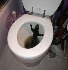 Squirrel in toilet